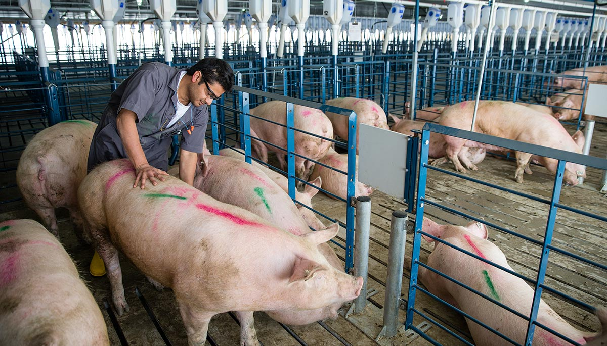 Turning a Pork Business into a Human Organs Business.